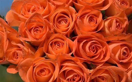 orange roses photo wallpaper